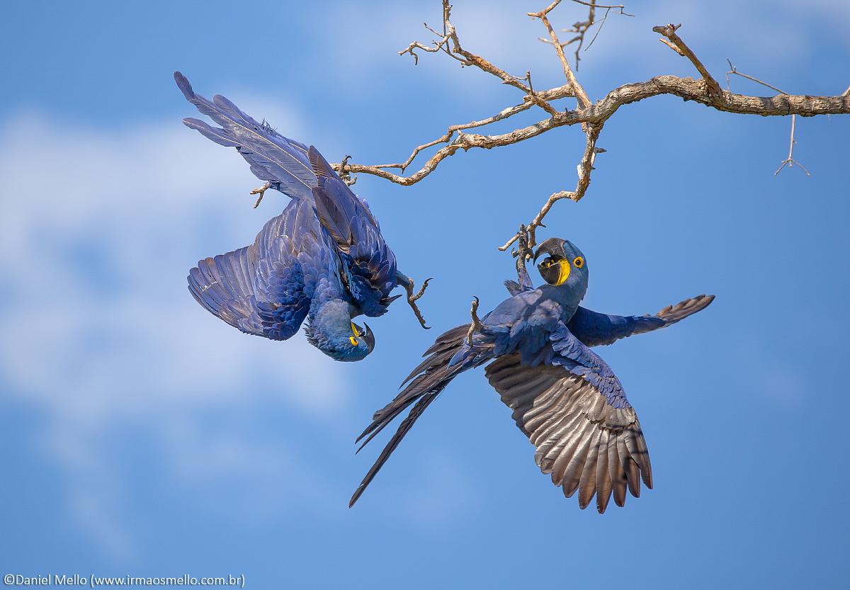 Araras-azuis