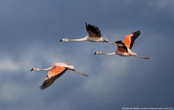 Flamingo-chileno