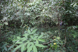 Hevea Plantation