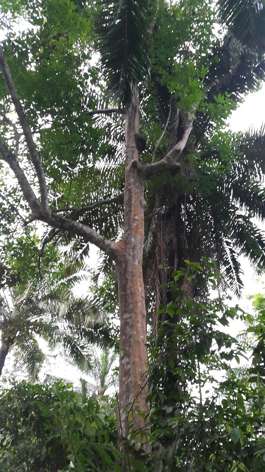 Hevea Tree