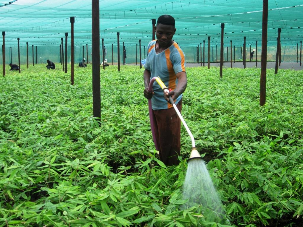 Bamboo Irrigation Before Transplant