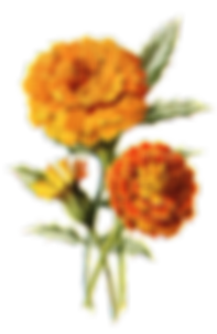 kisspng-mexican-marigold-flower-calendul