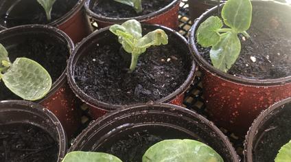 Spring Seedling Giveaways