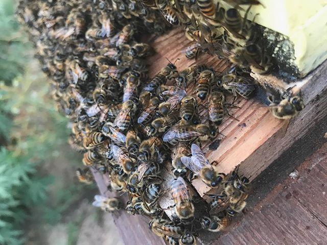 Buzzzzzzz! #bees #buzz #beez #bees #inse