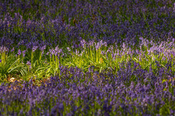 Bluebells in sunlight
