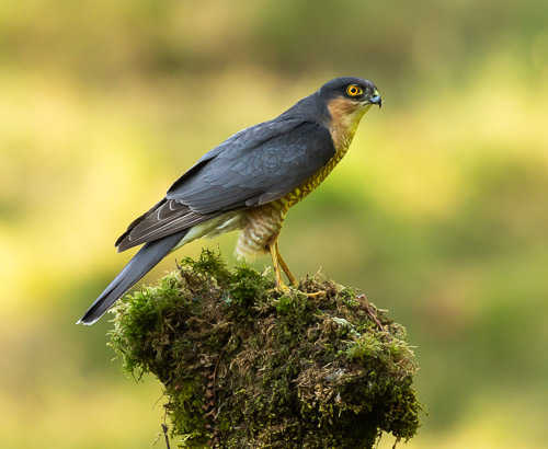 Sparrowhawk on moss