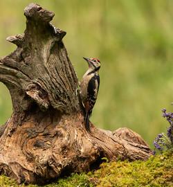 Great Spotted woodpecker on tree stump