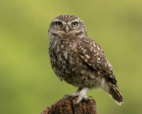 Little Owl on stump