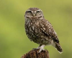 Little Owl on stump