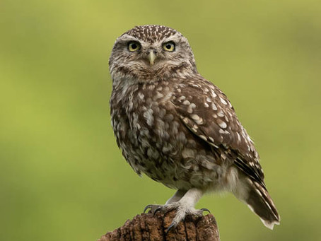 Little Owls and other birds