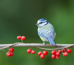Blue Tit, berries
