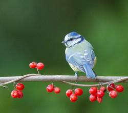 Blue Tit, berries