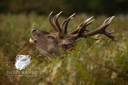 Red Deer bellowing-582