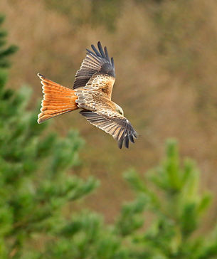 Red Kite at Brimmers.jpg