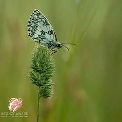 Marbled white at sunset-3413