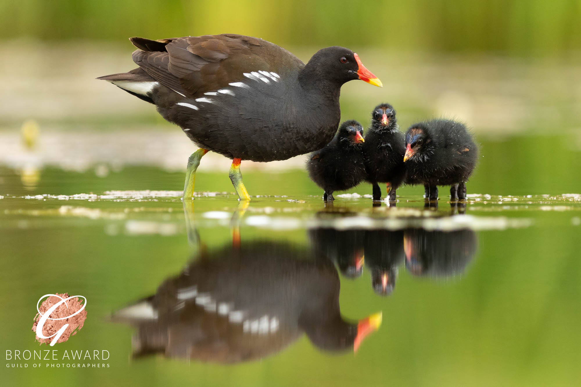 Moorhen & Chicks-8333