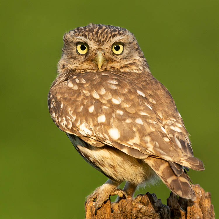 Little Owl, male