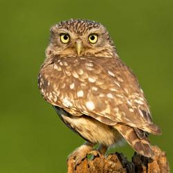 Little Owl, male