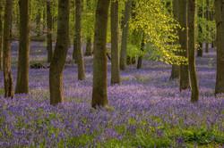 Bluebells at Dockey Wood