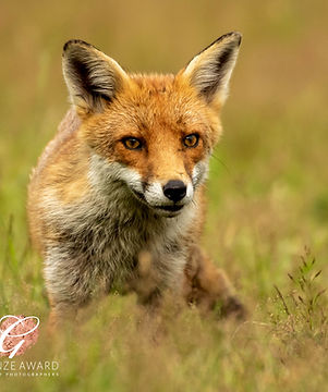 Red Fox, big ears.jpg