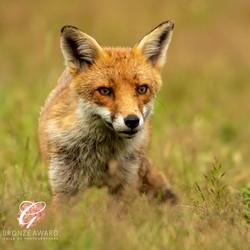 Red Fox, big ears-8264