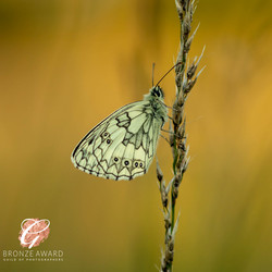 Marbled white at sunset 2-3390