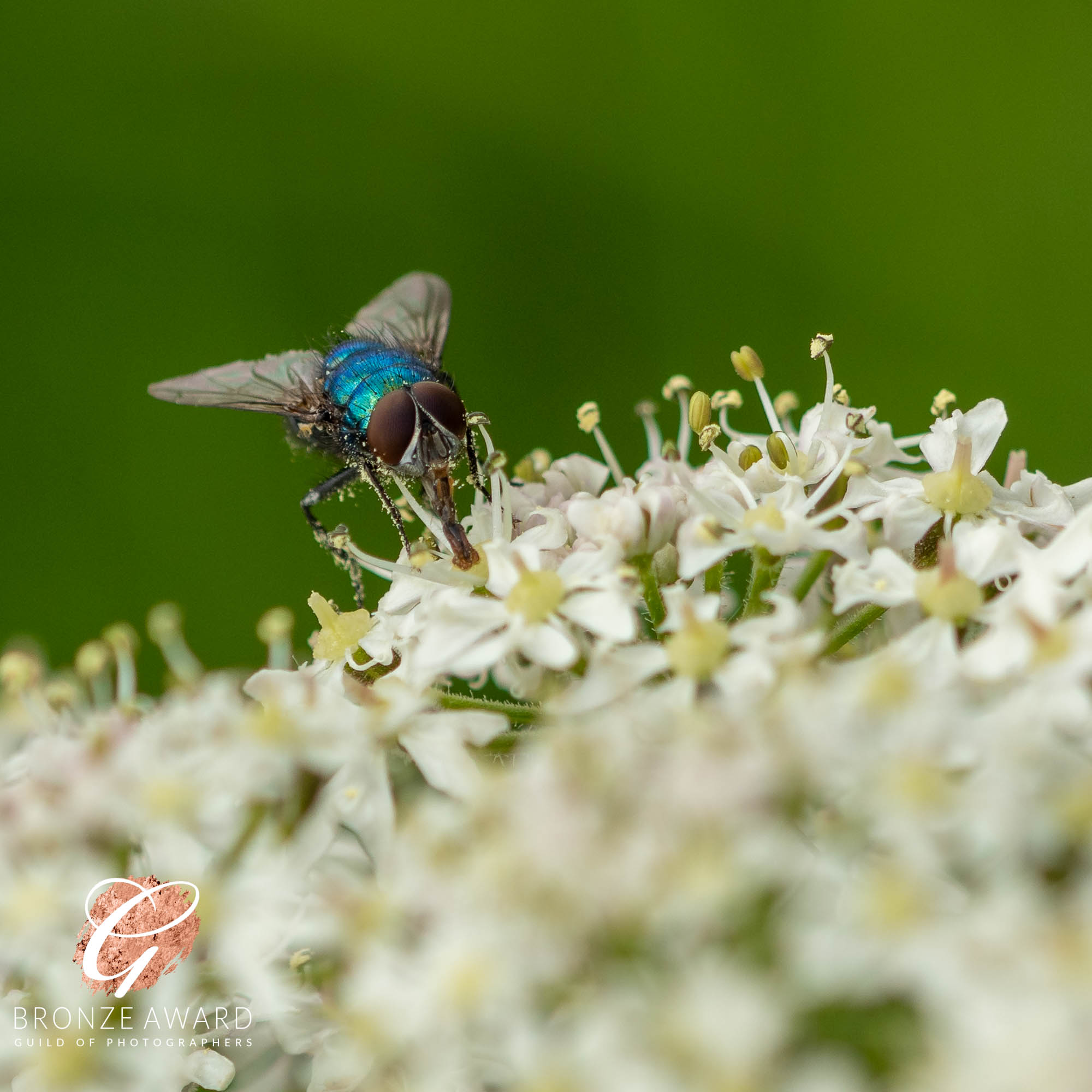Blue fly on flower-6132