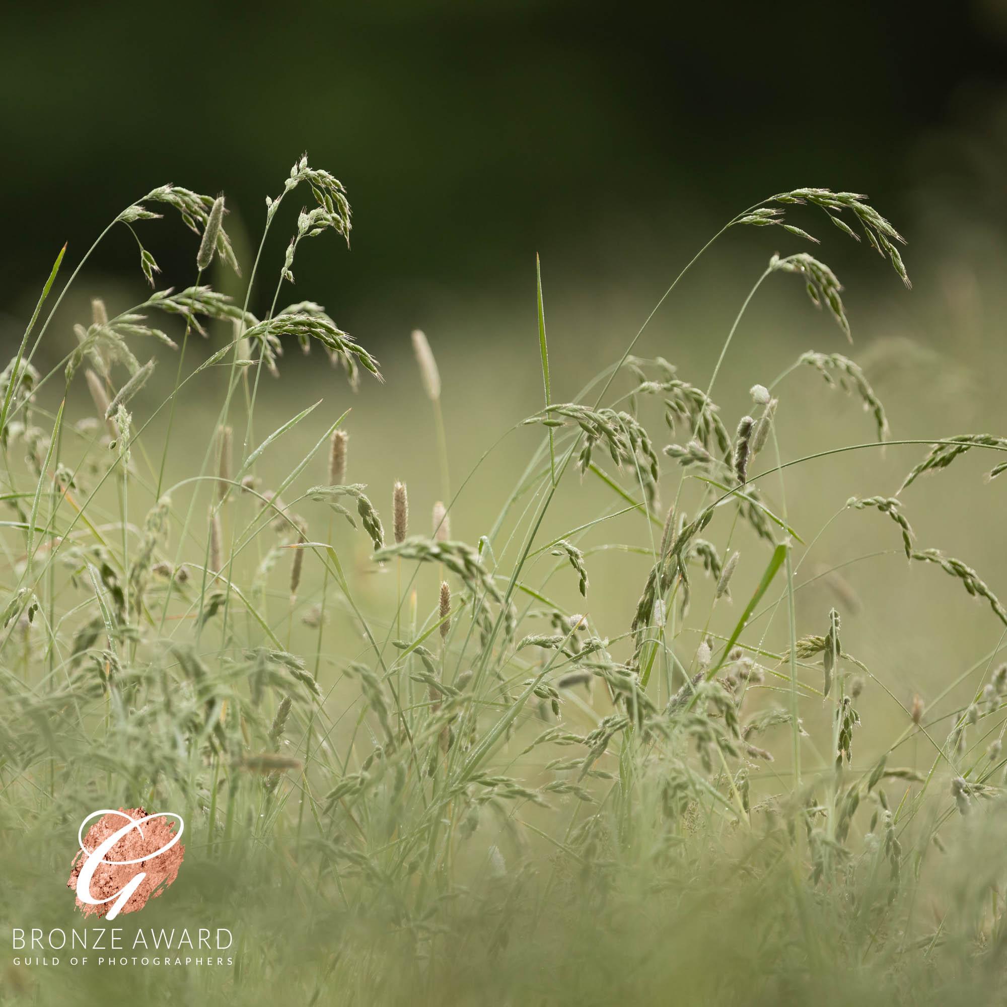 Grass, dew