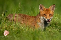Fox in grass-305