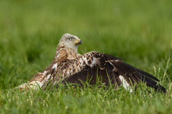 Red Kite protecting it's food-
