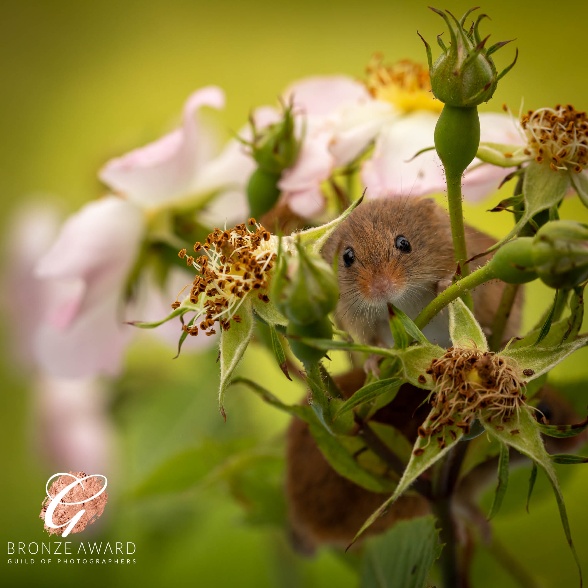 Harvest mouse-2540