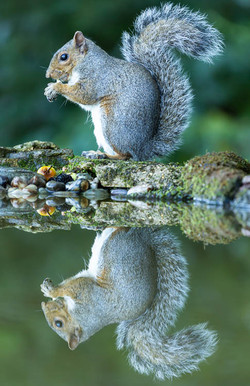 Grey squirrel, reflection