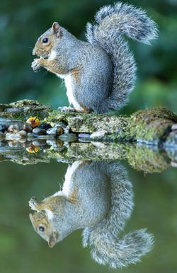 Grey squirrel, reflection