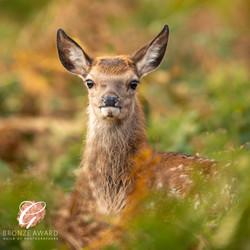 Red Deer, doe-6700