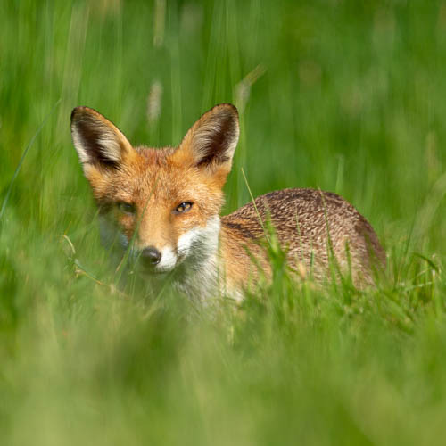 Fox, grass, hiding