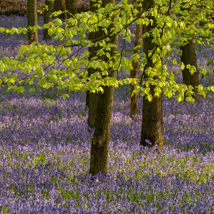 Bluebells, trees