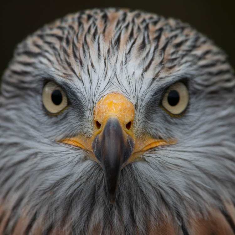 Red Kite, close up