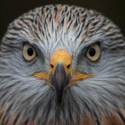 Red Kite, close up