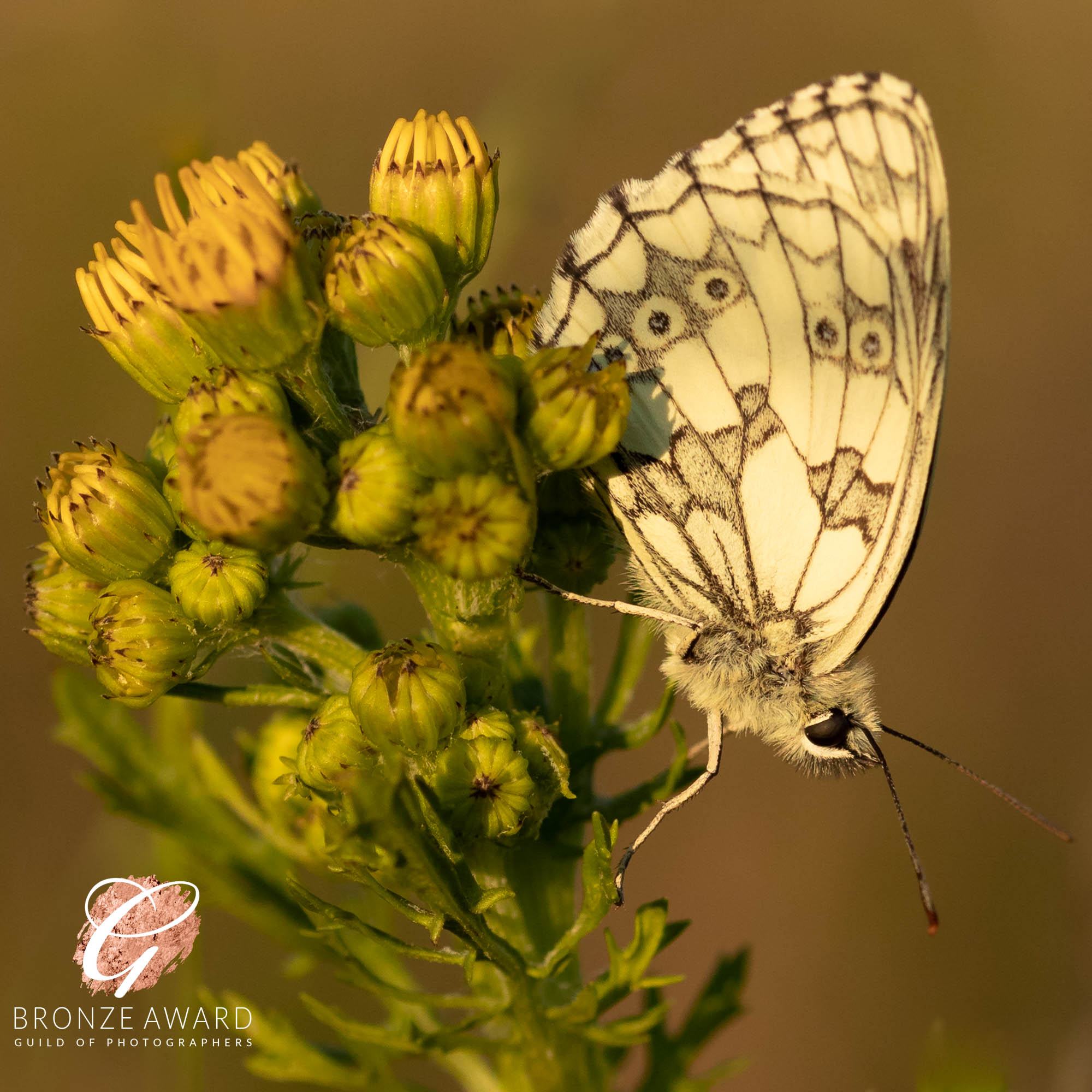 Marbled White-3385