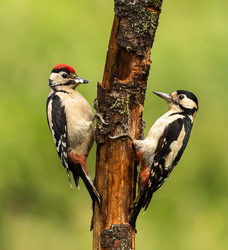 Juvenile & Adult Great Spotted woodpecker