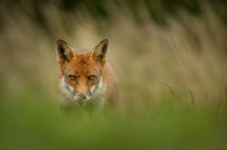Red Fox (Vulpes Vulpes) (1 of 1)