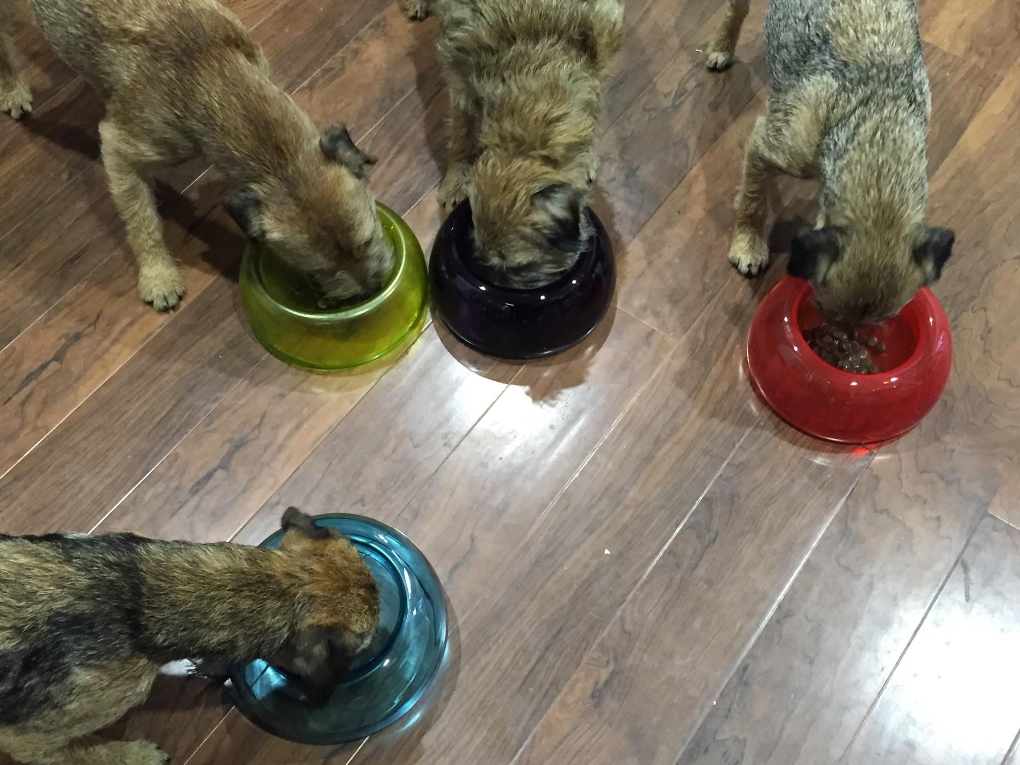 Border Terrier Buddies