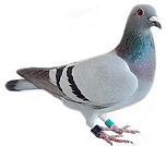 Pigeon-PNG-Free-Download 2.png