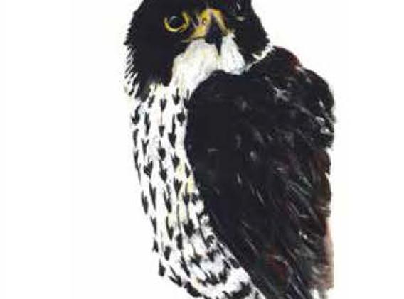 05 - Peregrin Falcon