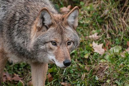 carnivore-coyote-fur-predator-397867[1].