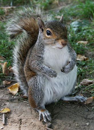 Common_Squirrel.jpg