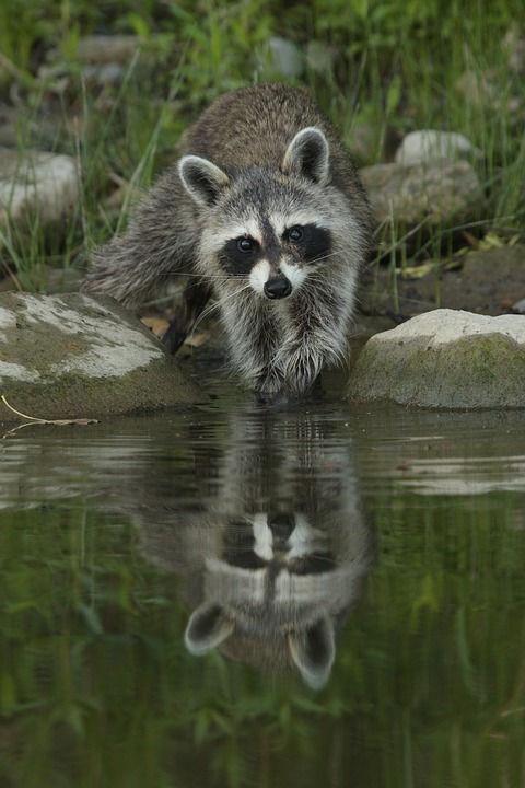 Washing raccoon.jpg