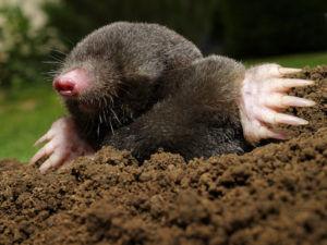 mole-300x225.jpg