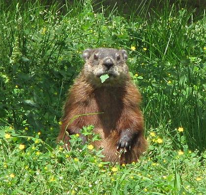Groundhog,_eating.jpg
