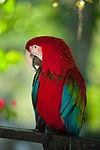 papagaj rojo.jpeg